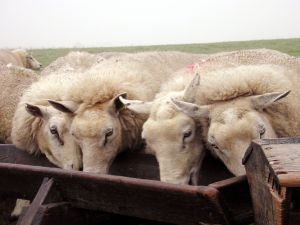sheep eating from trough